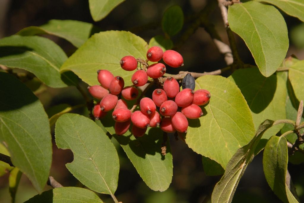 f. keteleeri Fruit and Leaf