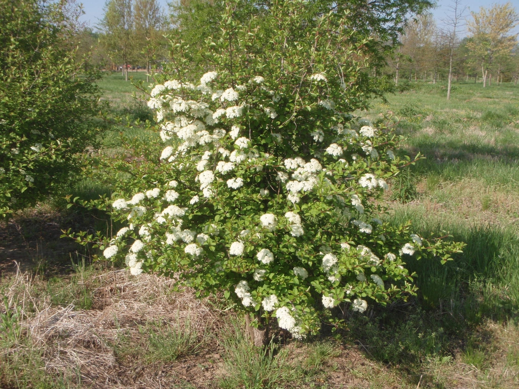 Viburnum prunifolia
