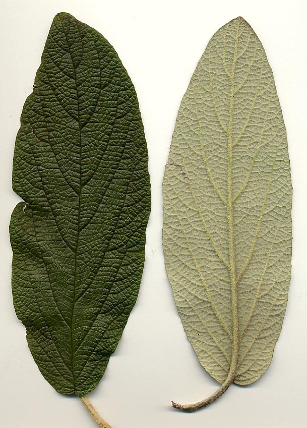 Front and back of leaf