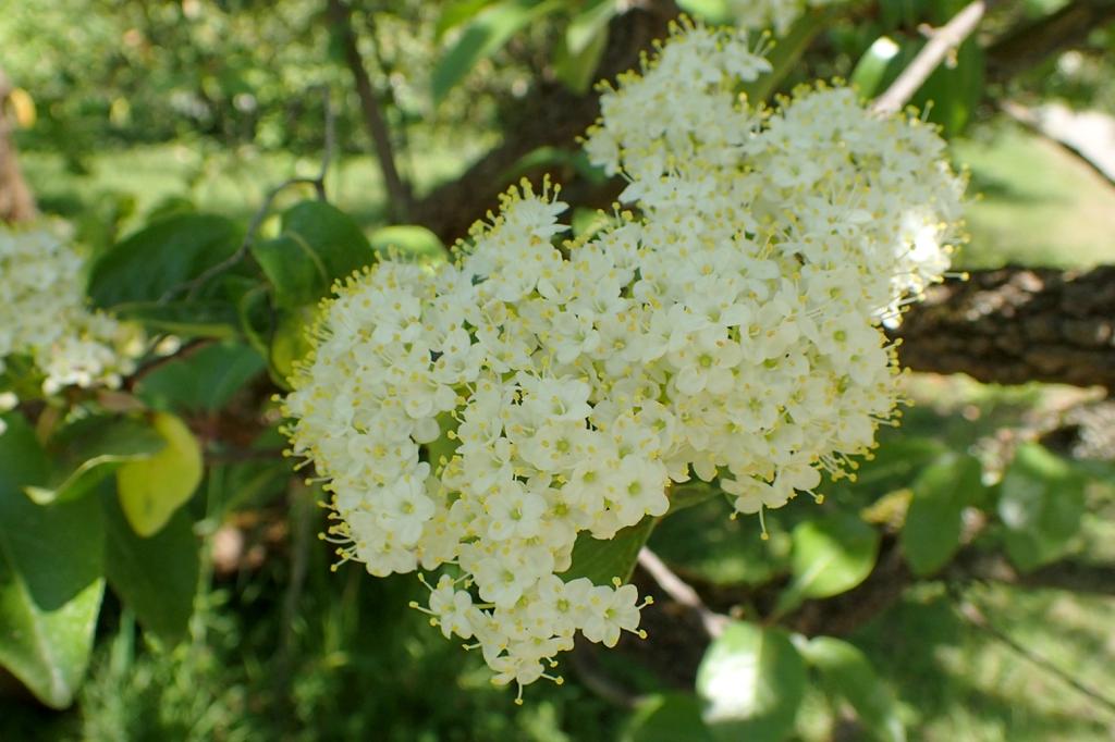 Viburnum rufidulum's flowers