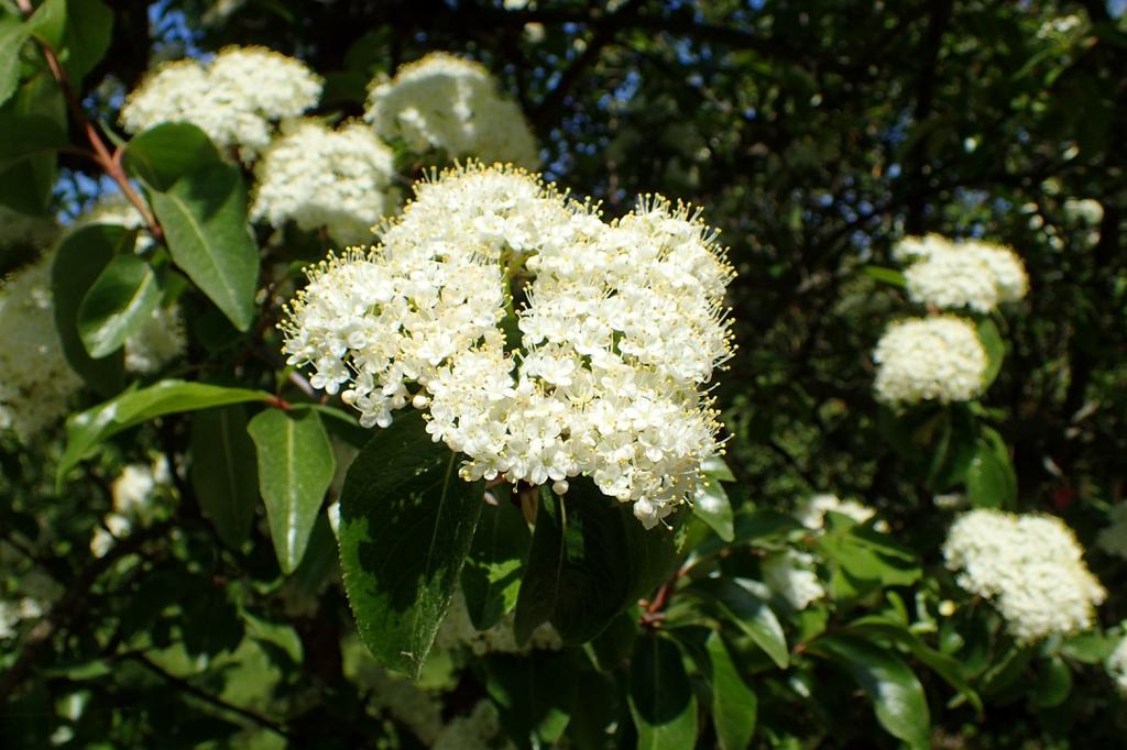 Viburnum rufidulum's flowers and leaves