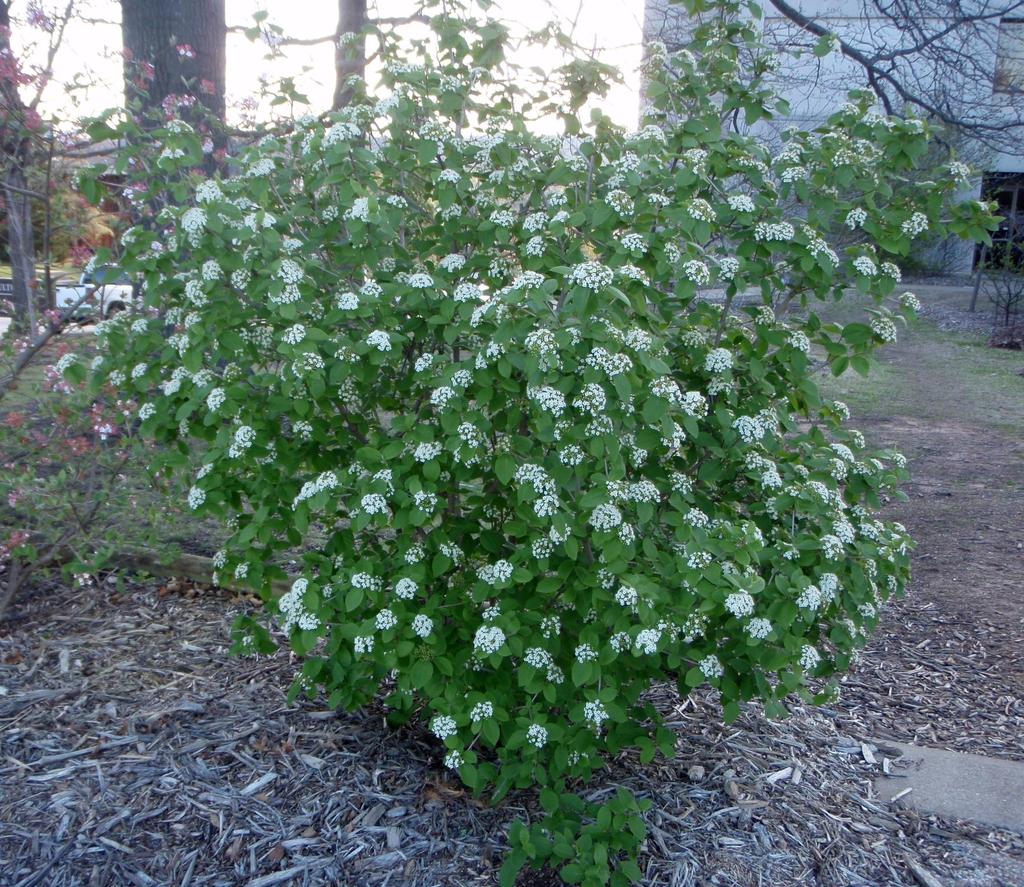 Viburnum 'Emerald Triumph'