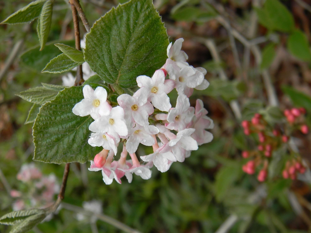 Viburnum x juddii