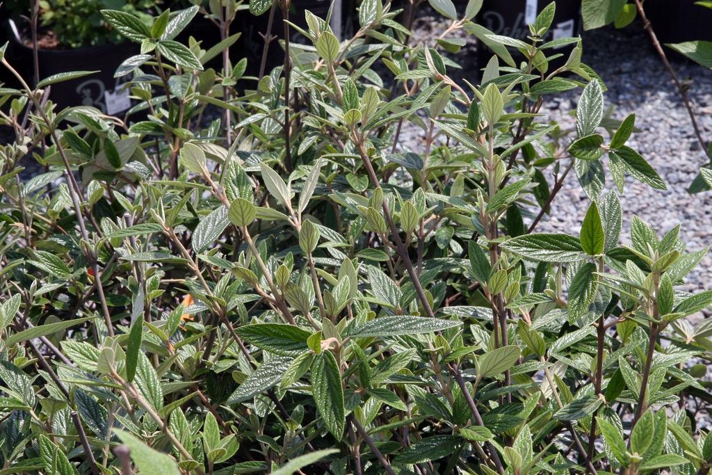 Viburnum x pragense