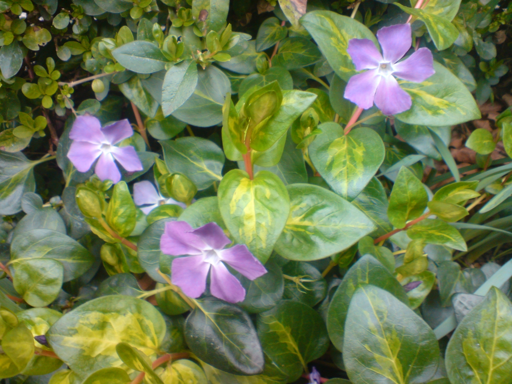 Vinca major (cultivars)