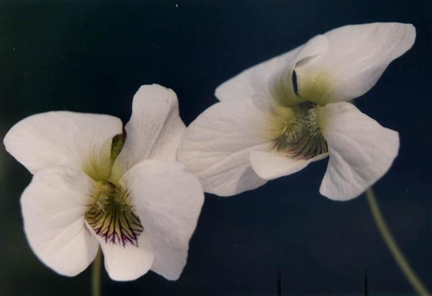 Viola cuculata 'Striata Alba'