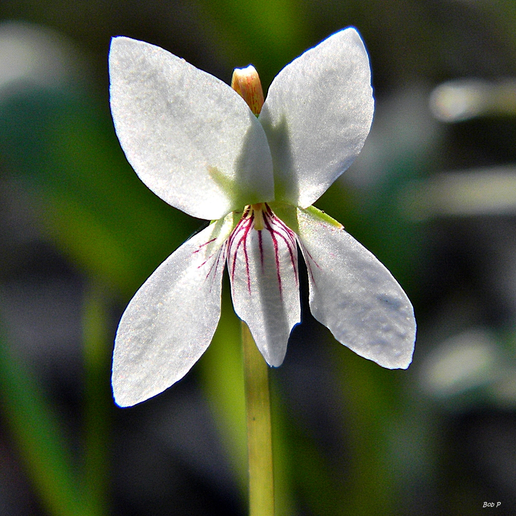 Viola lanceolata (backlit)