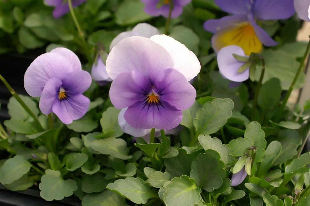Viola tricolor Sorbet Icy Blue