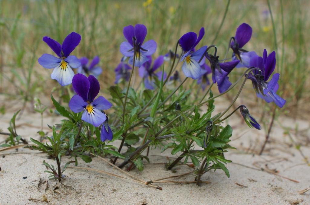 Viola tricolor var maritima