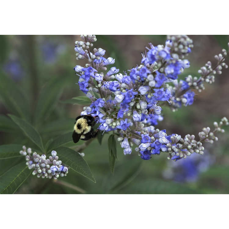 "Vitex agnus-castus ""Shoal Creek'"