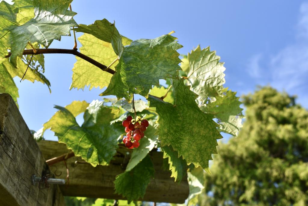 'Razzmatazz' - Grapes & Leaves - Aug. 11 - Wake Co., NC