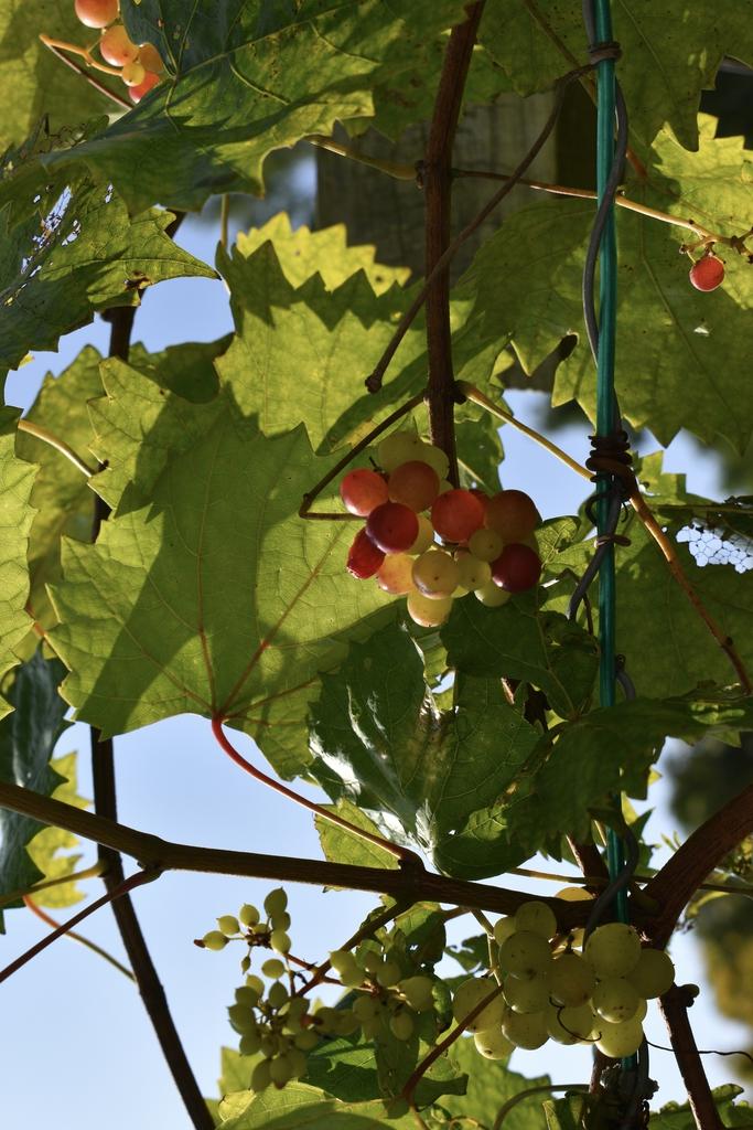 'Razzmatazz' - Fruit & Leaves - Aug. 11 - Wake Co., NC
