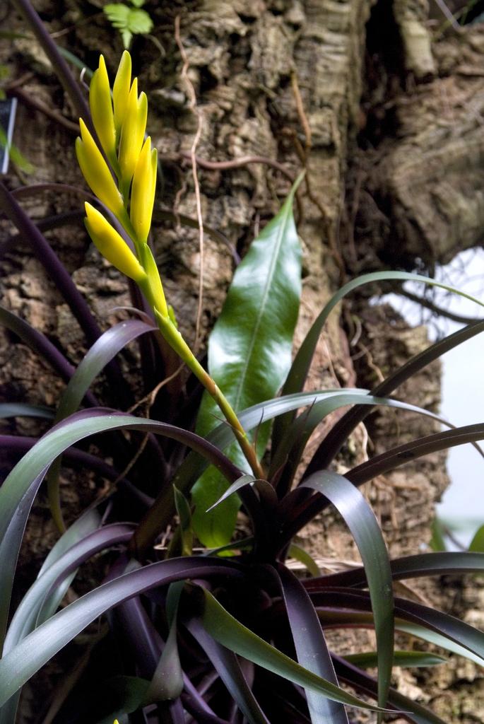 Vriesea bleheri