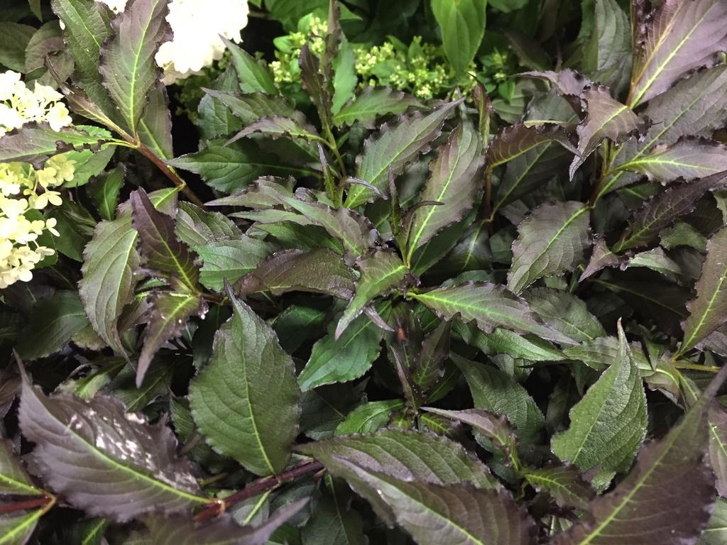 Wisteria floribunda 'Spilled Wine' leaf detail