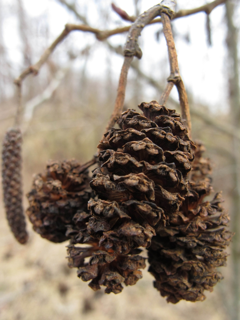 Female cones in the winter.
