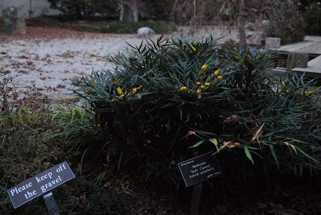"""Mahonia 'Soft Caress"""" at the JCRA in winter with yellow berries"""