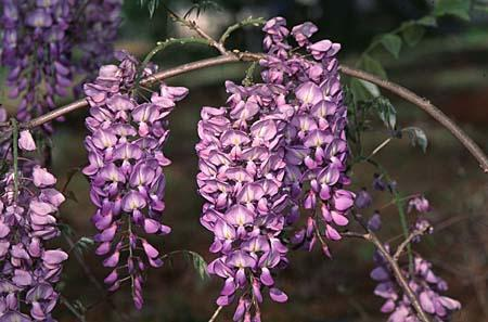 Wisteria spp. flower