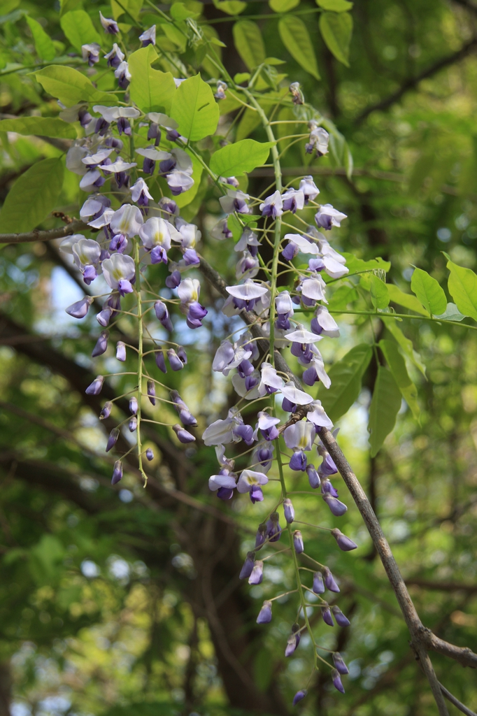Wisteria Frutescens flowers