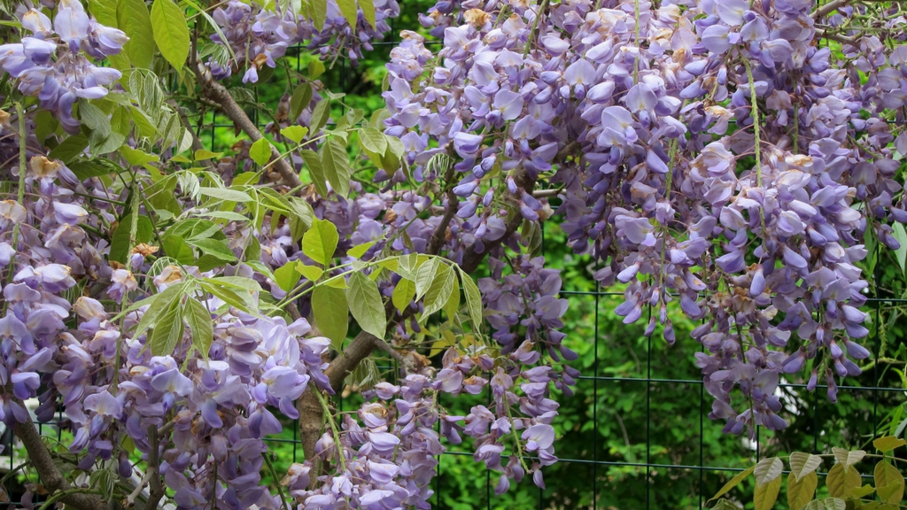 Wisteria sinensis 'Blue Sapphire' just past peak bloom