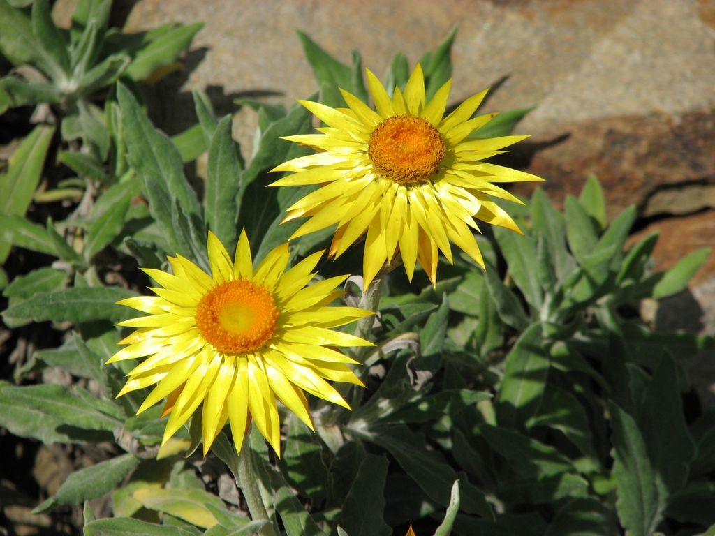 Xerochrysum bracteatum 'Dargan Hill Monarch'