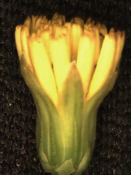 Youngia japonica (L.) DC.