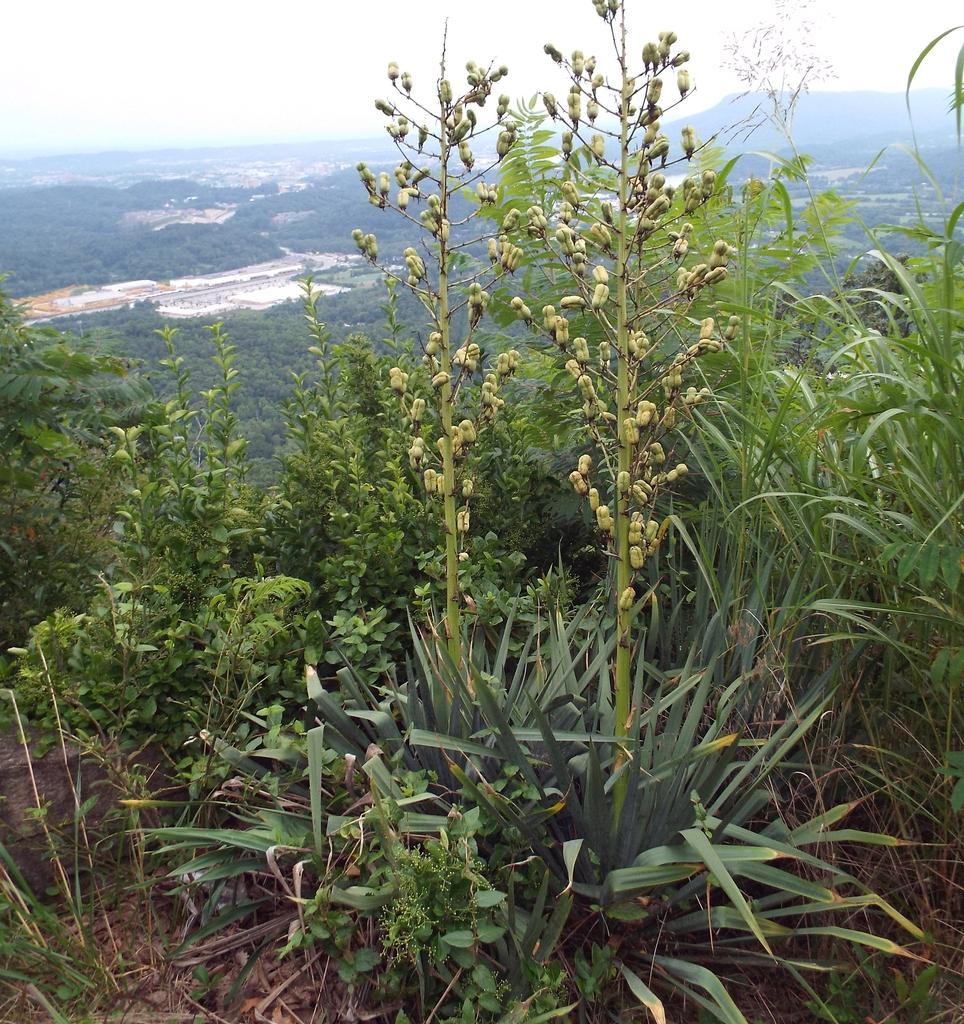 Yucca filamentosa 'Adam's Needle'