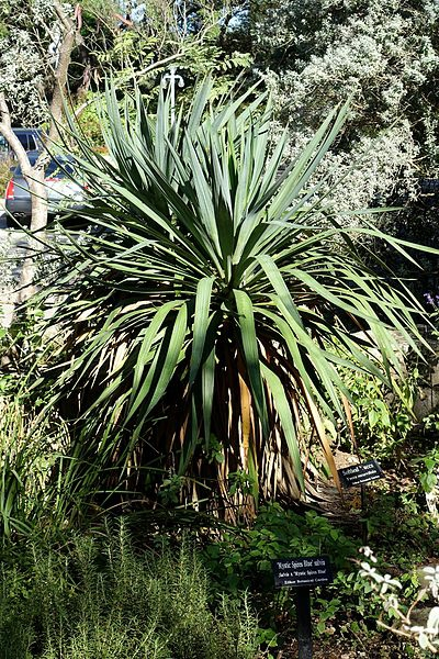 Yucca gloriosa var. tristis