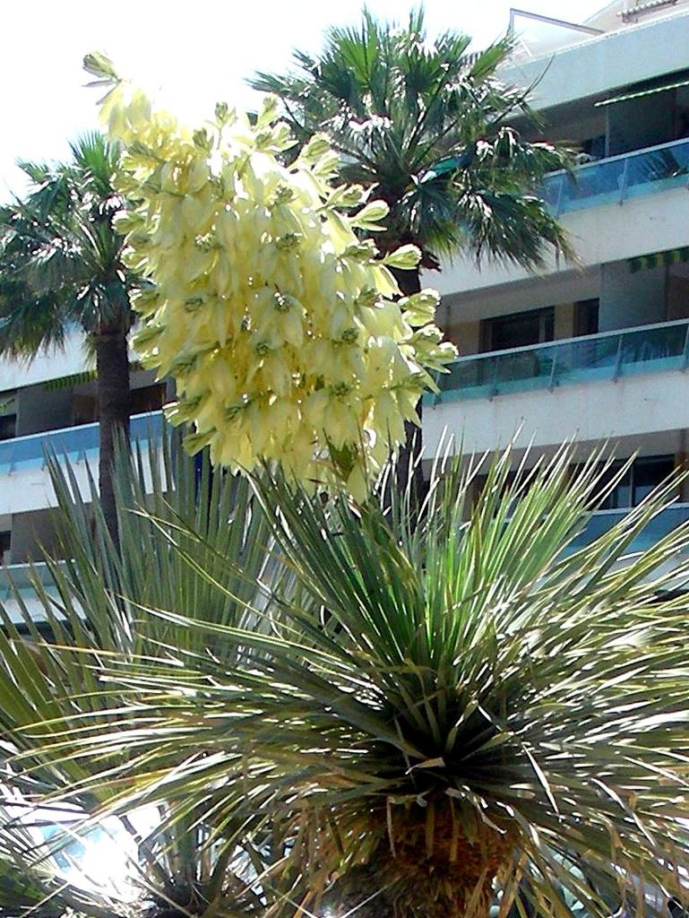 Yucca rostrata inflorescence