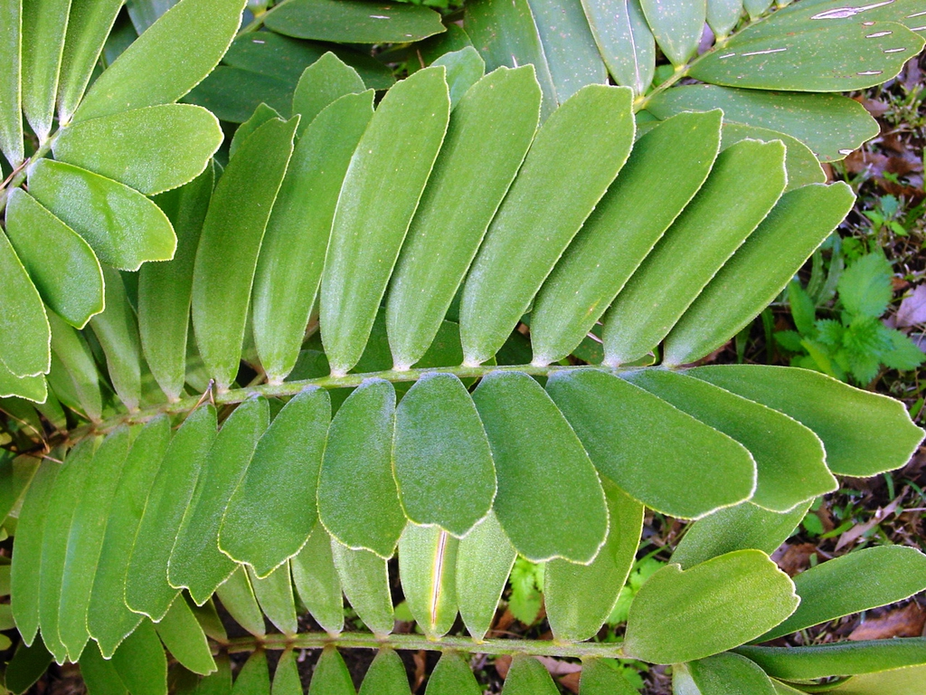 Leaves of Z. furfurace
