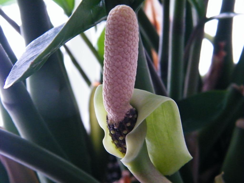 Zamiioculcas zamiifolia