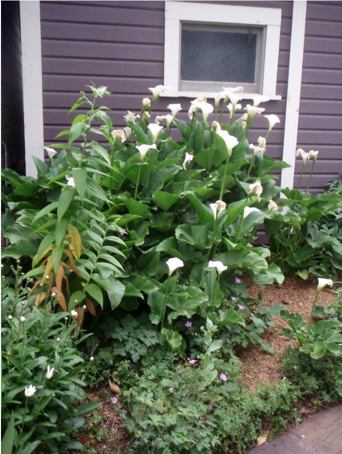 Zantedeschia - full plant