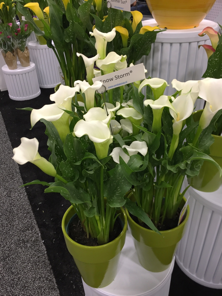 Zantedeschia - potted plant