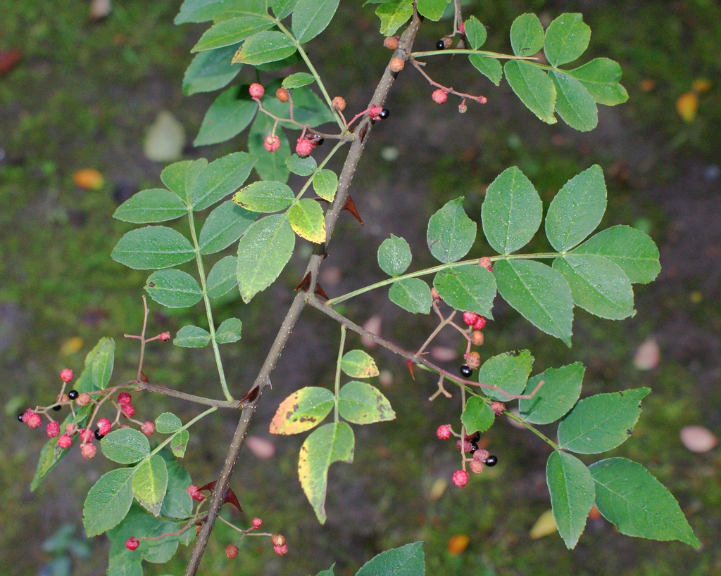 Zanthoxylum simulans Leaves