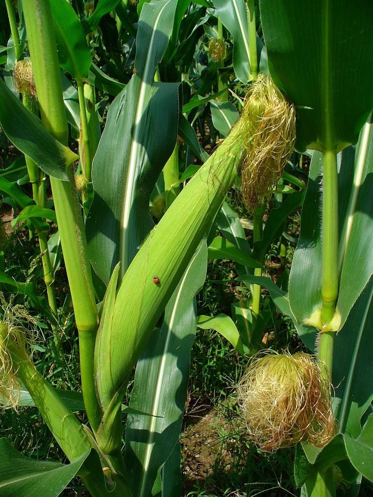 Zea mays female inflorescence