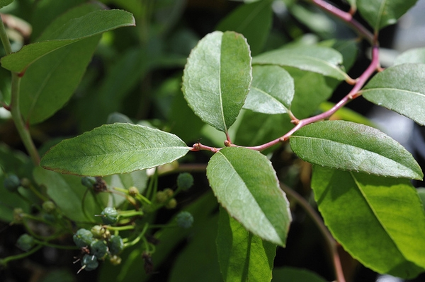 Zenobia pulverulenta 'Raspberry'