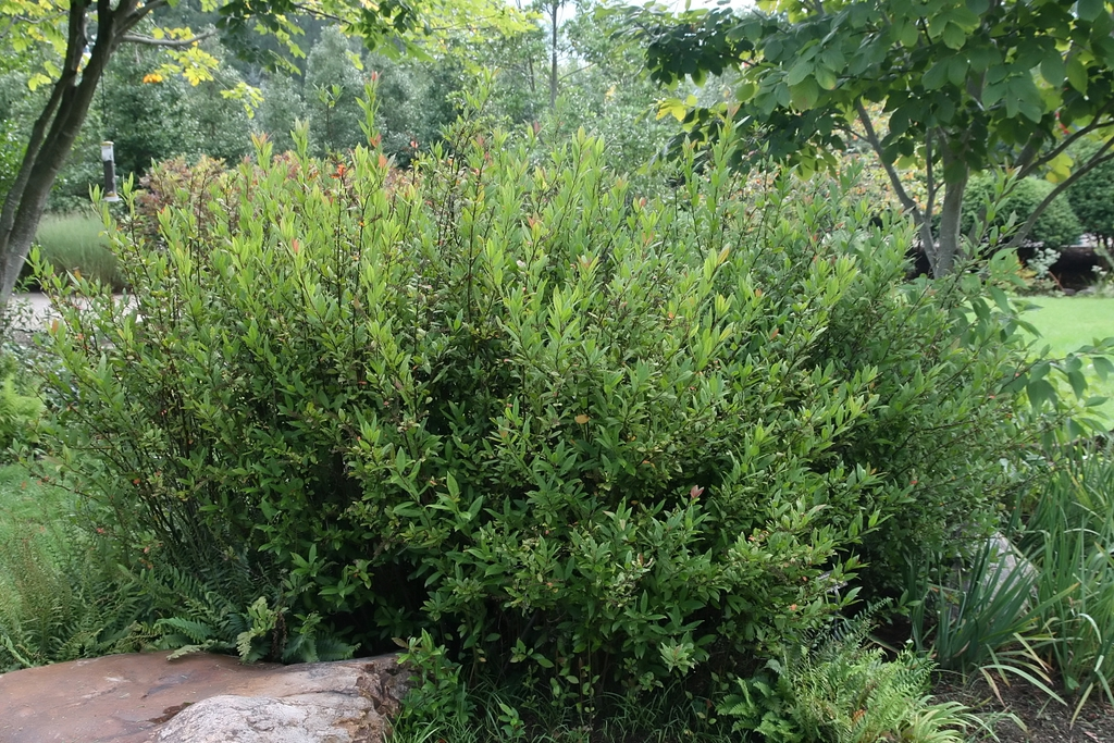 Zephyranthes atamasco