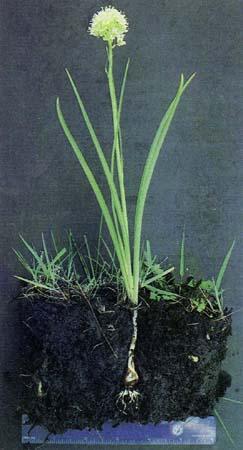 Zigadenus spp.