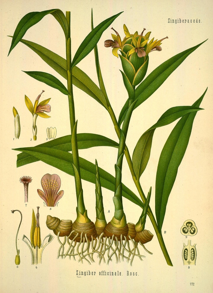 Zingiber officinale  botanical illustration