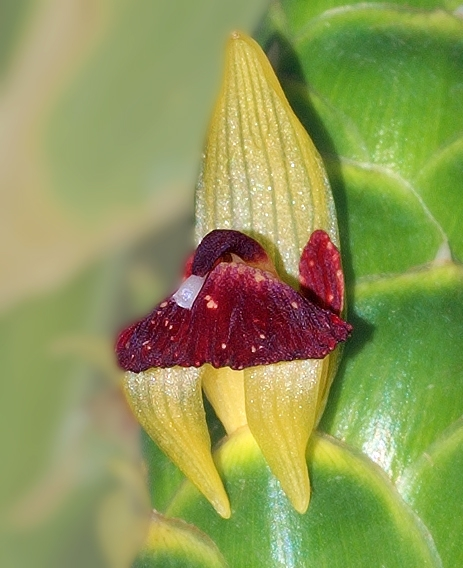 Zingiber officinale Flower closeup