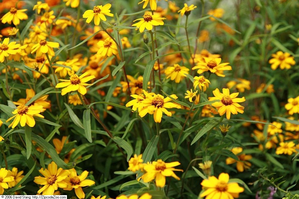 Zinnia angustifolia 'Star Gold'