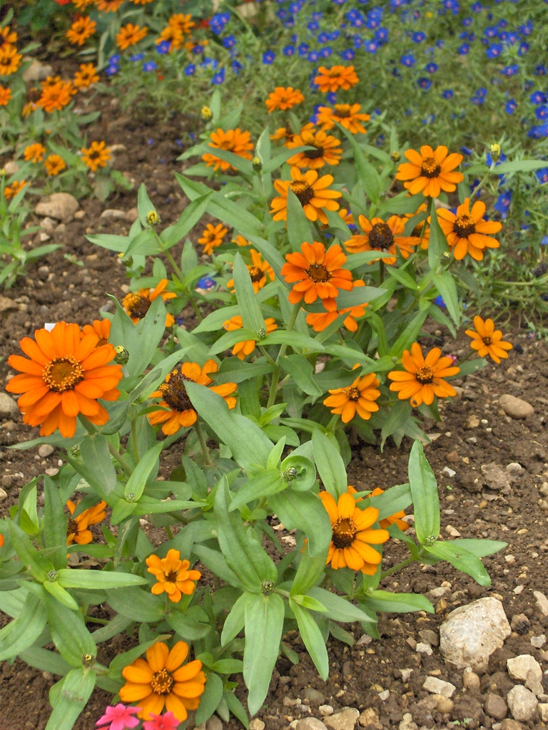Zinnia angustifolia Profusion Orange