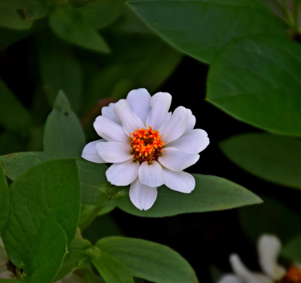 Zinnia elegans 'Profusion Blanc'