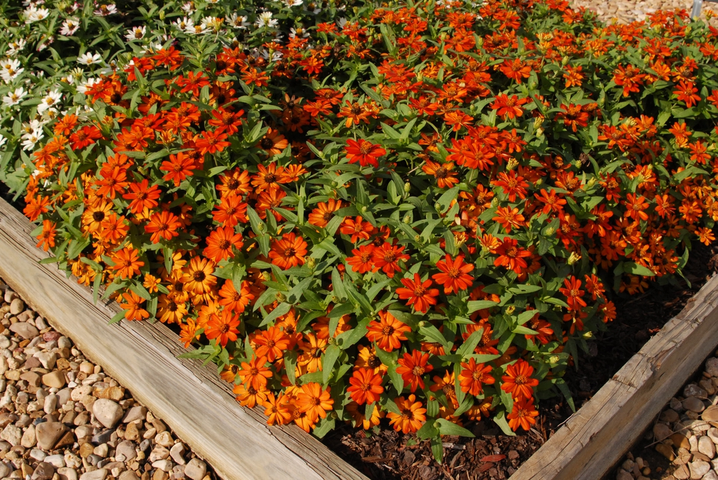 Zinnia marylandica Zahara Fire flfm 072209 CrySpMS