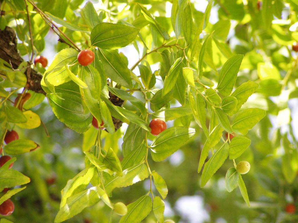 Ziziphus zizyphus foliage Júlio Reis