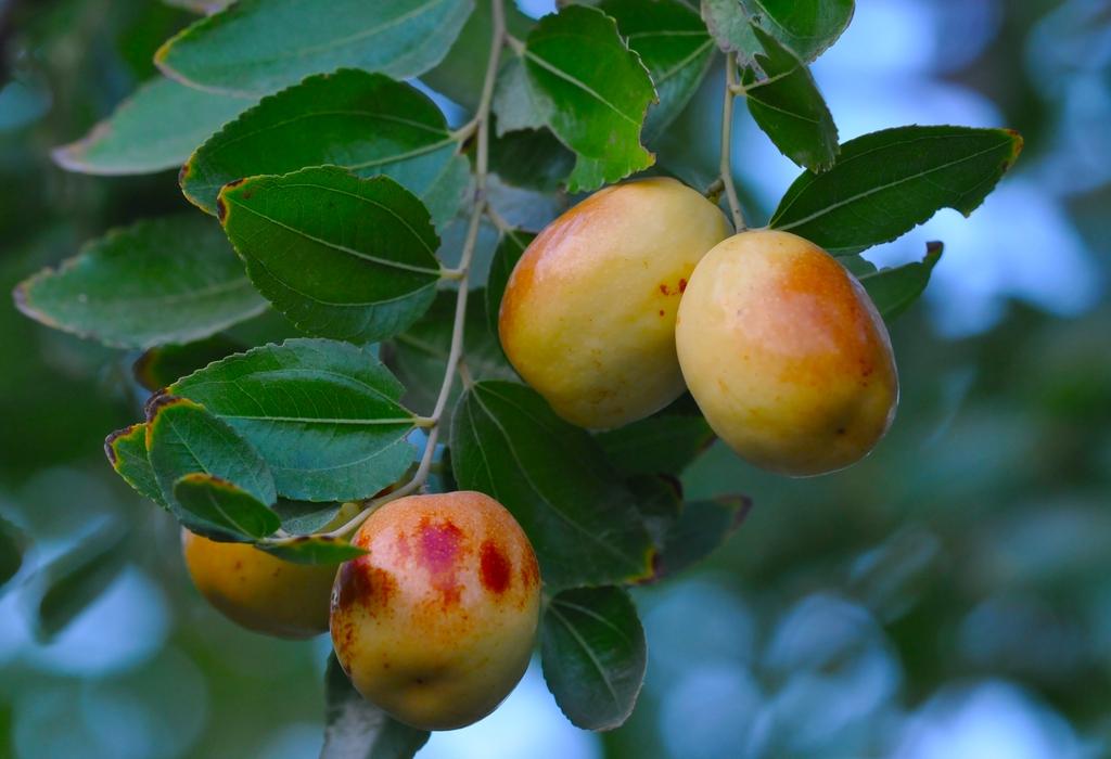 Immature fruits
