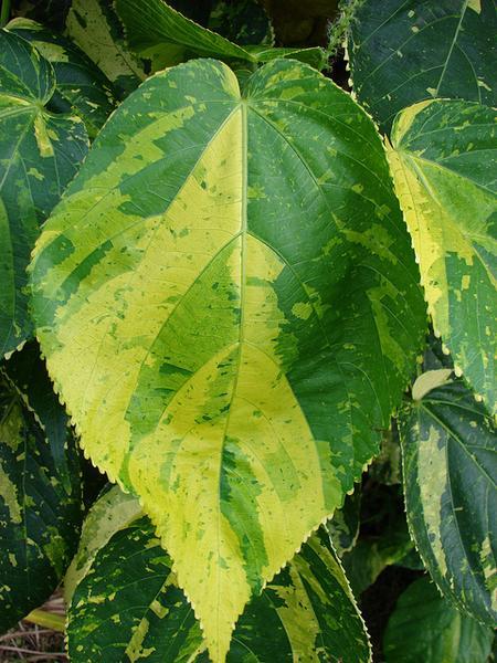 Acalypha wilkesiana