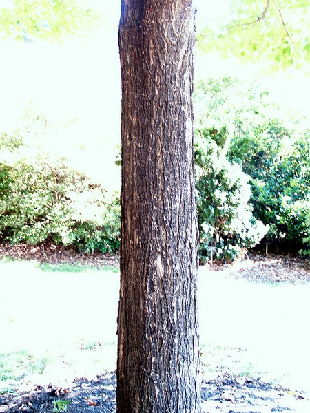 Acer saccharum leaves
