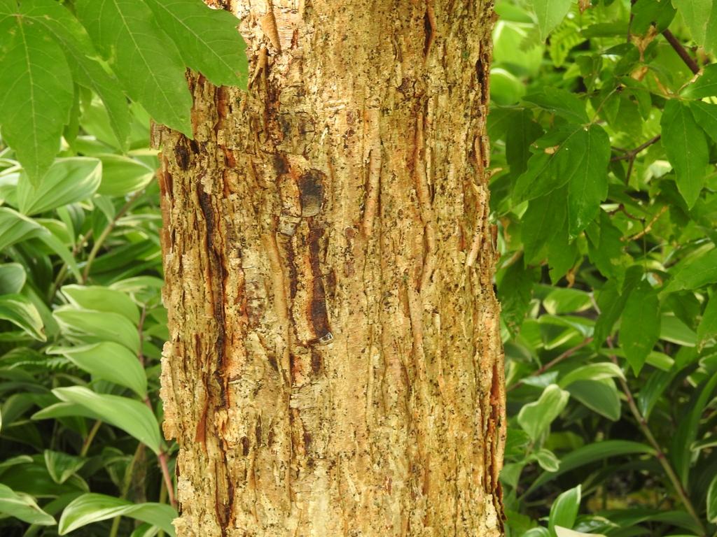 Acer triflorum bark