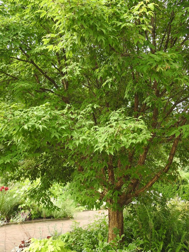 Acer trifolium form