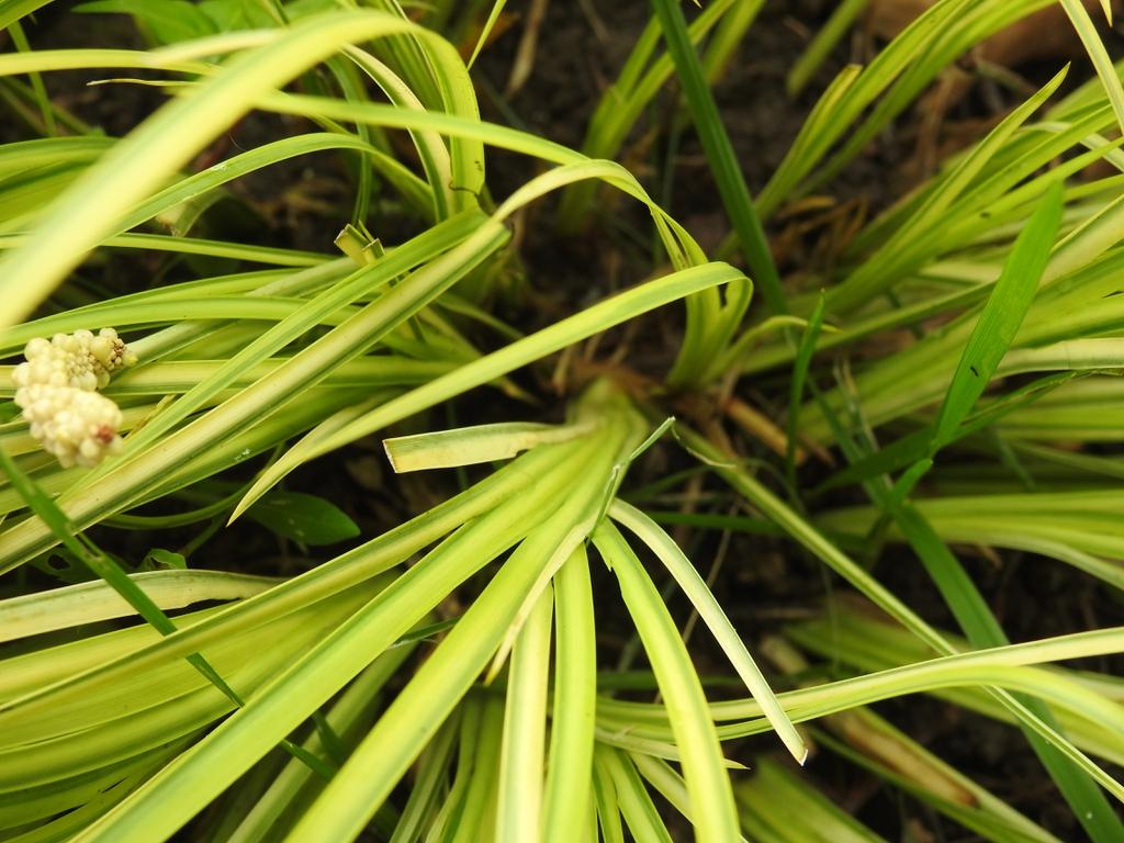 Acorus gramineus 'Oborozuki' leaf base